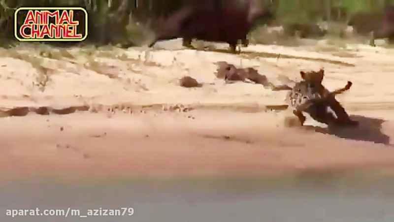 صحنه هایی از شکار کردن گربه سانان بزرگ
