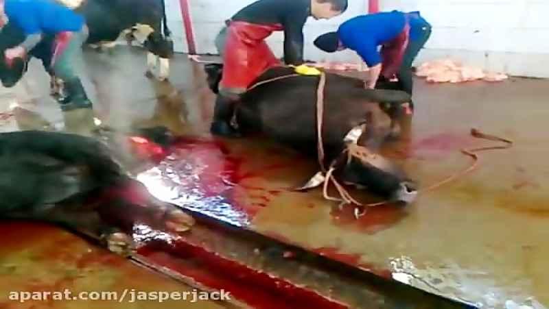 ذبح کردن گاو در کشتارگاه