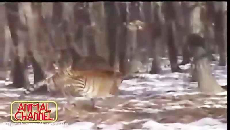 گربه سانان جسور و شکارهای دیدنی تهران سی دی شاپ