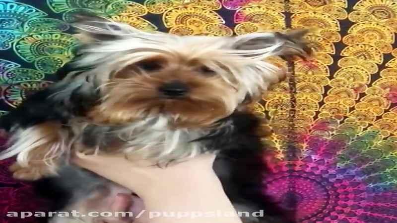 فروش سگ ضد آلرژی نژاد یورکشایر تریر (ضد حساسیت)