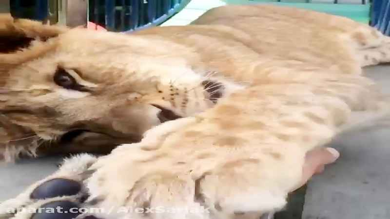 گربه سانان.شیر .ببر .پلنگ13