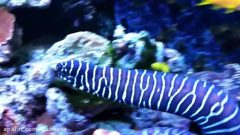 مارماهی گورخری: Gymnomuraena zebras