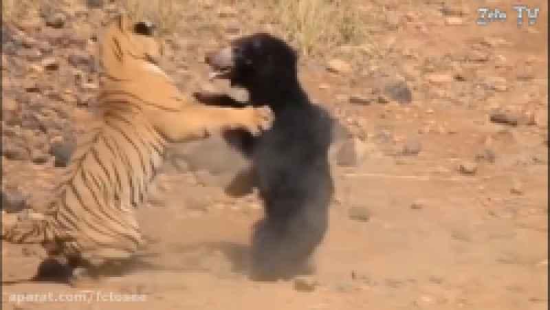 حیات وحش   خرس در مقابل ببر ملر کبرا در مقابل مانگوز