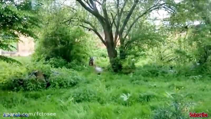 حیوانات وحشی دعوا می کنند - تمساح در مقابل شیر ، فیل ، ببر در مقابل میمون