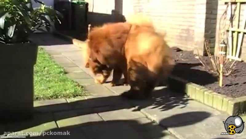 پانزده نژاد از خطرناک ترین سگ های جهان