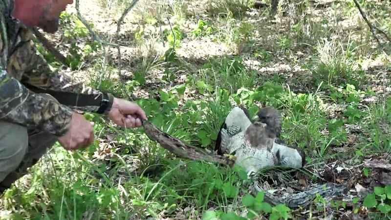 شکار بوقلمون ، مار و در آخر نجات یک شاهین