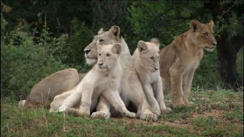 مستند حیوانات / شیرهای سفید