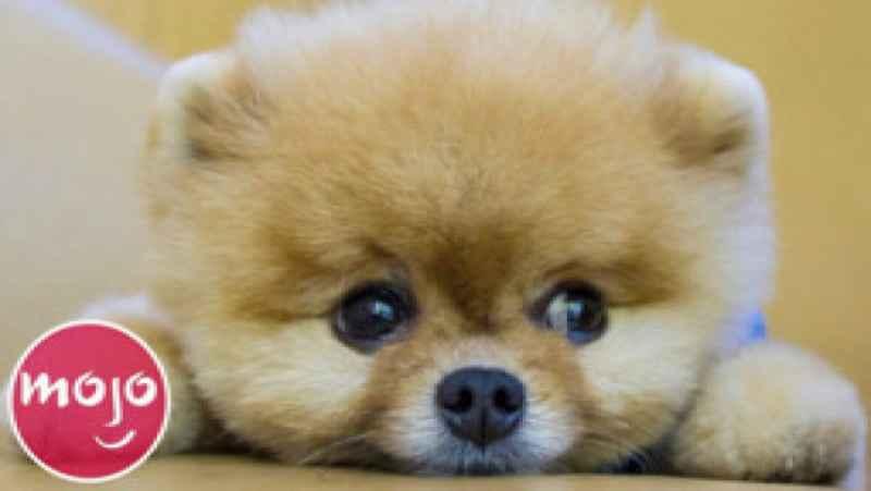 20 نژاد برتر سگ که بهترین توله سگها را دارند