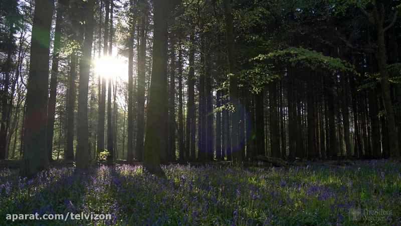 سه ساعت صدای آرامش بخش پرندگان در جنگل   (نظاره گر ساکت 37)