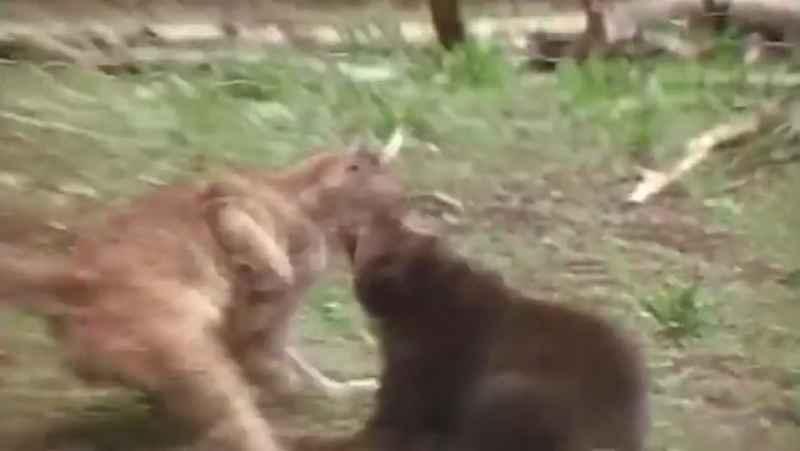 کلیپ حیوانات   حیوانات وحشی   نبرد و جنگ حیوانات   شکار حیوانات