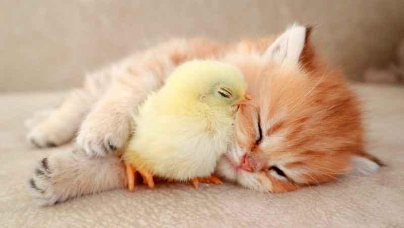 خوابیدن جوجه کوچولو و گربه کوچولو