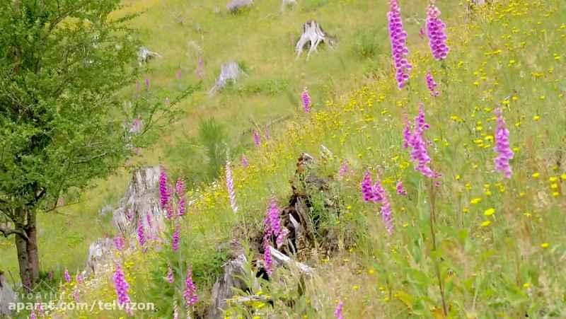سه ساعت ویدیو از گلهای وحشی در دامنه کوه   (ریلکسیشن در طبیعت 136)