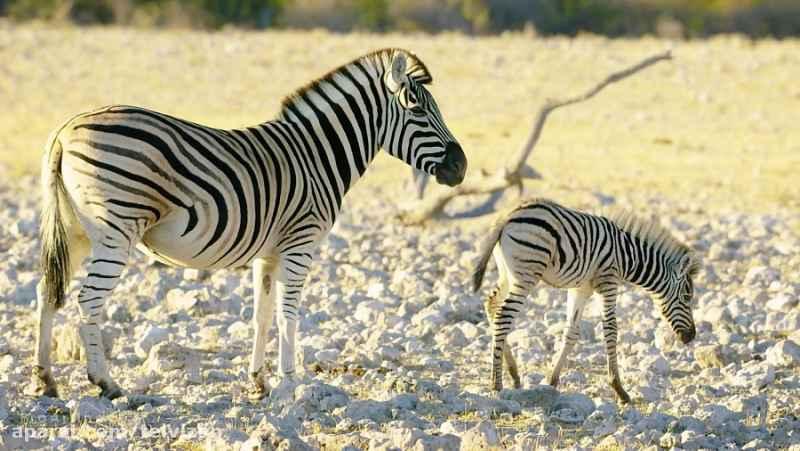 ویدیویی زیبا از حیات وحش جمهوری نامیبیا در آفریقا   (ریلکسیشن در طبیعت 150)
