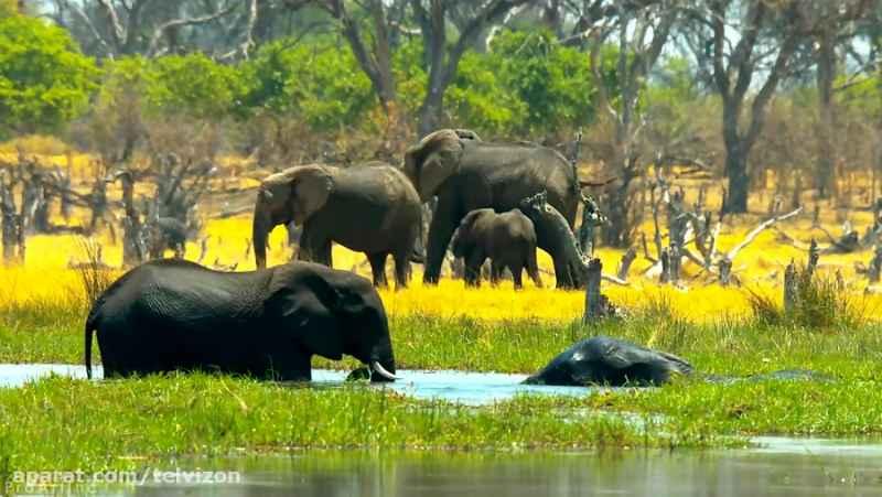 چهار ساعت ویدیو از زندگی فیل ها در حیات وحش آفریقا | (ریلکسیشن در طبیعت 190)