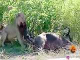 بیرون کشیدن توله بوفالو از شکم بوفالو باردار توسط شیر