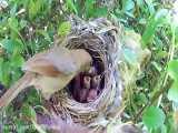 فیلم مستند تخم گزاری و غذا دهی در لانه زیباترین  پرنده جهان