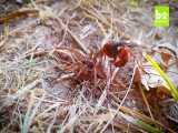 جدال زنبور شکارچی عنکبوت  وعنکبوت گرگی نابودگر-جدال برای بقا