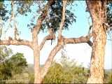 شیر نری که بالای درخت می رود! و یک مادر پلنگ باهوش!