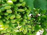 نهال انگور،قیمت خرید و فروش نهال انگور ۰۹۱۴۴۸۱۱۶۳۱