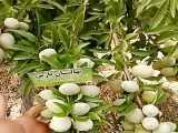 درخت بادام نهال بادام نهالستان پارس09159157465