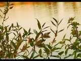 اشک یتیم - شعر با صدای شاعر استاد محمدرضا صفاری
