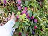 درخت آلو-نهال آلو-نهالستان پارس-09152157465