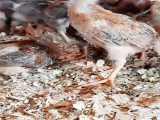 پرورش مرغ بومی - پرورش انواع نژادهای مرغ در طیور