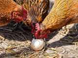 پرورش مرغ بومی - اگر مرغ هایتان تخم مرغ ها را میخورند،