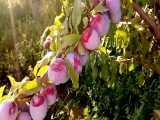 نهالستان آلو -درخت آلو خوشه 09152157465
