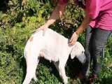 نجات سگ معلول گرسنه که سعی میکنه بچه هاشو بزرگ کنه