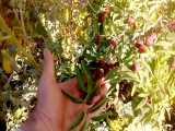 درخت عناب -پارس نهال 09152157465