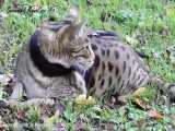 گربه ای با خصوصیات یک سگ | گربه ساوانا
