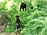 سگ گریت دین و خرس سیاه