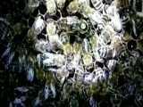 زنبور کارنیکا | فروشگاه آنلاین زنبور عسل