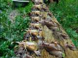 ماهیگیری در درخت پاپایا - بهترین ماهیگیری در مناطق روستایی.