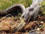 کلیپ رازبقا - بلعیده شدن یک تمساح توسط مار